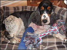 Harvey the spaniel. Picture: RSPCA