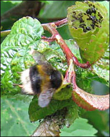Bumblebee and aphids
