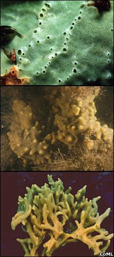 Halichondria panicea (CoML)