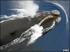 Southern right whale. Image: IWC