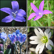Plants under threat in Wales, clockwise from top left, the Spreading Bellflower, the Campanula, the Arctic Mouse-ear and the Oysterplant