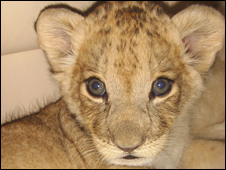 Zara the lion cub
