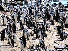 African penguins (PJ Barhham)