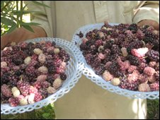 Berries from the Shomali Valley
