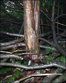 Yew tree