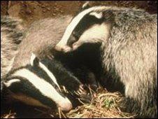 Badger cubs (Andrew Cooper)