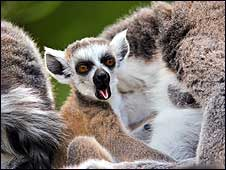 Warbie the baby lemur born at Bristol Zoo