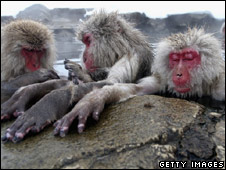Japanese macaques in Jigokudani-Onsen (Hell Valley), Japan