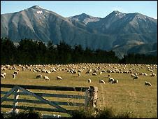 New Zealand sheep farm - 13/3/2008