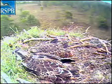 Two osprey chicks (Pic: RSPB Scotland)
