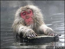 Japanese macaques in Jigokudani-Onsen (Hell Valley), Japan