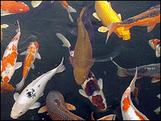 Bbc news uk england nottinghamshire carp worth for How much are koi fish worth