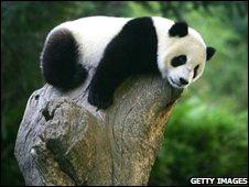 Panda at Wolong reserve