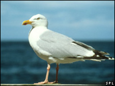 Herring gull (generic) Science Photo Library