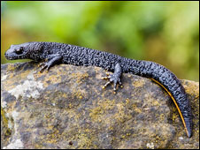 A great crested newt (picture: Science Photo Library)