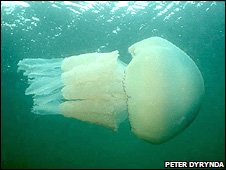 Barell jellyfish in Carmarthen Bay