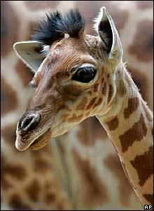 A giraffe calf at the Vincennes zoo, east of Paris, France
