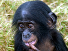baby bonobo (photo from Twycross Zoo)