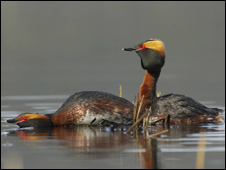 Slavonian grebe (Pic: RSPB Images)
