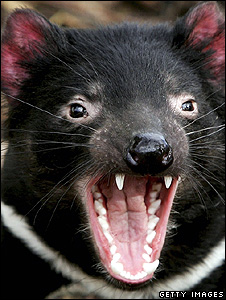 Tasmanian devil (Getty Images)