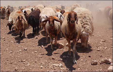 Herd of sheep in the Jordan Valley