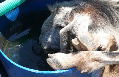 Sheep drinks from bucket