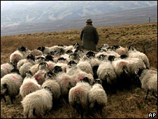 Farmer with flock of sheep in Cumbria