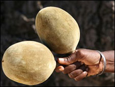 Nut from the Baobab tree