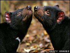 Tasmanian devils (Getty Images)