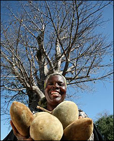 Baobab picker in front of a baobab tree