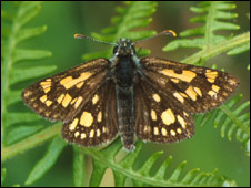 Chequered skipper (Pic: Butterfly Conservation Scotland)