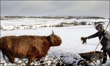 Farmer feeding Highland cow