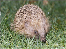 A hedgehog (library picture)