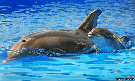 Bottlenose dolphin mum and calf