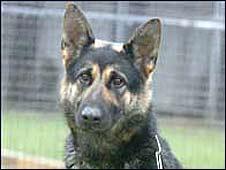 Police dog Anya (Wiltshire Police)