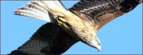 Red Kite in flight - RSPB