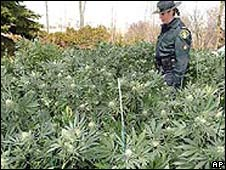 A policewoman stands amid marijuana crops in Ontario during a raid - file photo from 2004