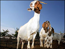 Goats (library picture)