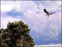Osprey chick maiden flight