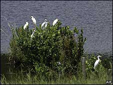 Colony of cattle egrets beside lake in Texas, USA