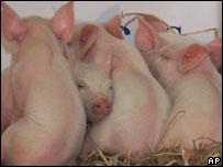 Cerdos clonados