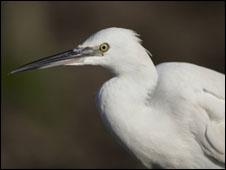 Little egret - pic Jodie Randall (rspb-images.com)