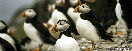 Puffins (Image: Joe Cornish/NTPL)