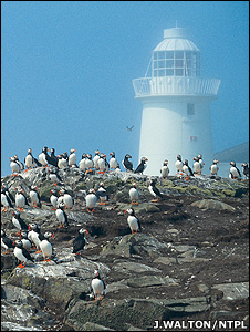 Puffins in front of a lighthouse (Image: John Walton/NTPL)