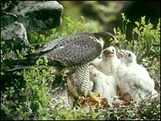 Peregrine female feeding chicks