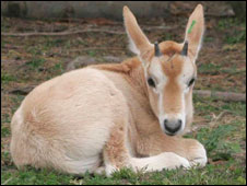 The Scimitar-Horned Oryx