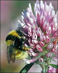 Great Yellow Bumblebee on Red Clover
