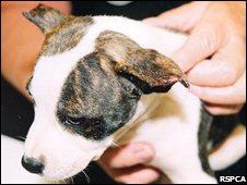 Staffordshire bull terrier Saffron