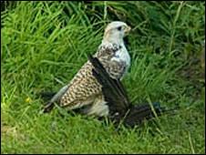 Gyr falcon - Picture by Tim Nunn