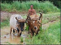 Campesino con bueyes